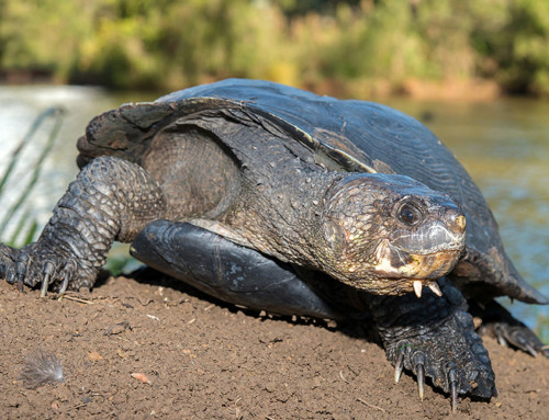 White-throated Snapping Turtle