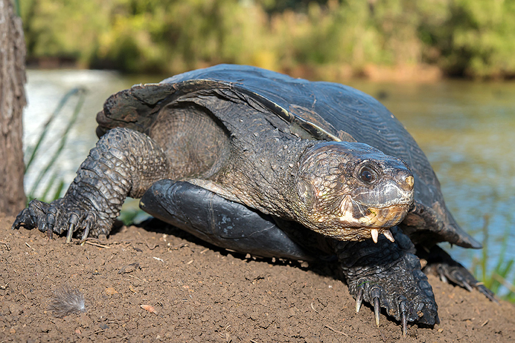snapping turtle 1