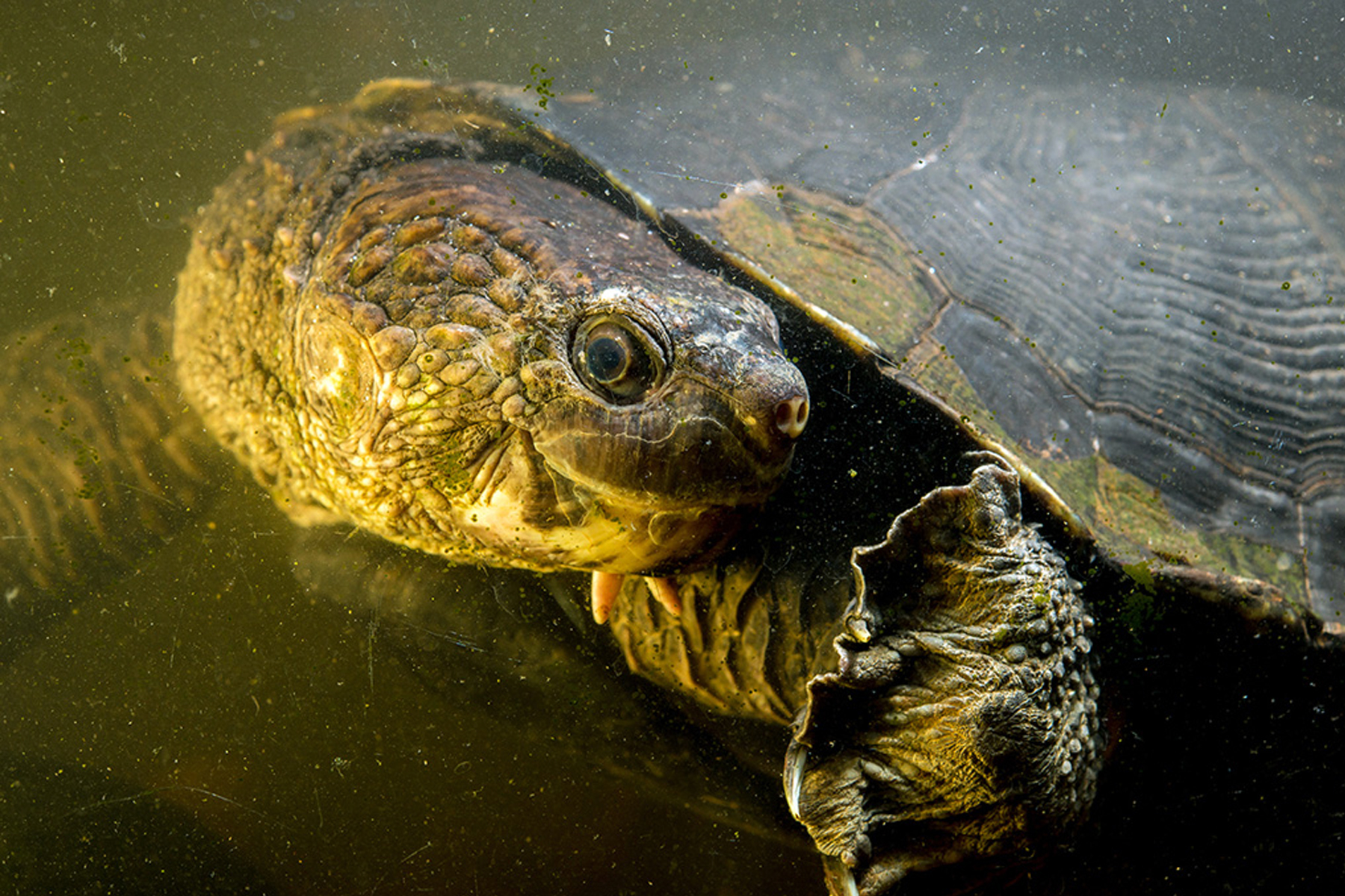 snapping turtle 3